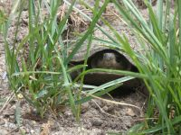 Eastern mud turtle laying eggs near Headquarters, 1 (Jun 2020)