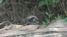 Eastern mud turtle, Unexpected Wildlife Refuge photo