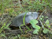 Eastern painted turtle 1 laying eggs near Headquarters (Jun 2020)