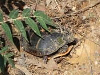Eastern painted turtle 2 laying eggs near Headquarters (Jun 2020)