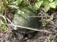 Eastern painted turtle 5 laying eggs near Headquarters (Jun 2020)