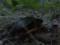 Eastern painted turtle laying eggs (May 2016)