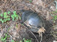 Eastern painted turtle laying eggs, photo by Dave Sauder