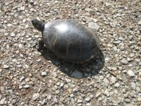 Eastern painted turtle egg laying sequence, 2, back on driveway, photo by Dave Sauder (Jun 2020)