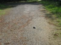 Eastern painted turtle egg laying sequence, 3, headed for main pond, photo by Dave Sauder (Jun 2020)