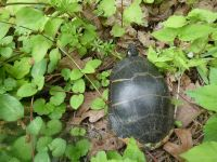 Eastern painted turtle who had made nest (note sand on carapace) near Headquarters (May 2020)