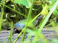 Eastern painted turtle on log in main pond, Unexpected Wildlife Refuge photo