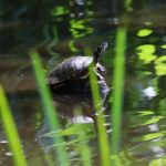 Eastern painted turtle on stump in main pond, photo by Leor Veleanu