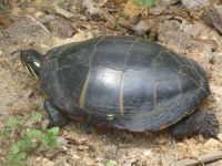 Eastern painted turtle near Headquarters (May 2020)