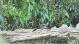 Eastern painted turtle on eastern mud turtle, Unexpected Wildlife Refuge photo