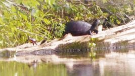 Eastern painted turtle and (possibly) red-bellied turtle sharing log in main pond (Sep 2018)