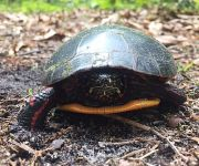 Eastern painted turtle, Unexpected Wildlife Refuge photo