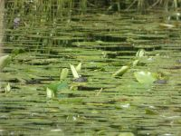 Eastern painted turtles among lily pads in main pond (May 2020)