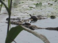 Eastern painted turtles resting on water lily roots in main pond, photo by Dave Sauder (Aug 2020)