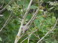 Eastern phoebe in a tree near Headquarters (May 2020)