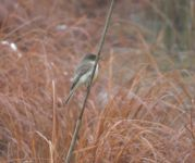 Eastern phoebe with spider, on reed in Miller Pond (Dec 2019)