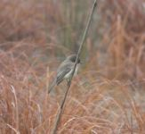 Eastern phoebe with spider, on reed in Miller Pond, after swallowing (Dec 2019)