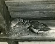 Eastern phoebe with young in the shed (Jun 1966)