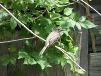 Young eastern phoebe, Unexpected Wildlife Refuge photo