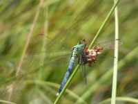 Eastern pondhawk dragonfly, maturing male, eating another dragonfly at Miller Pond (Jul 2020)