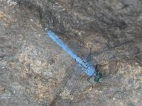 Eastern pondhawk dragonfly maturing male at Miller Pond (Jun 2020)