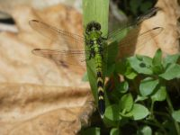 Eastern pondhawk dragonfly, young male, near Headquarters (May 2020)