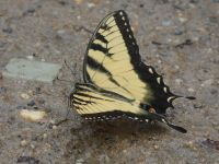 Eastern tiger swallowtail butterfly male near Headquarters (Jul 2020)