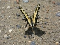 Eastern tiger swallowtail butterfly near Headquarters (Jun 2020)