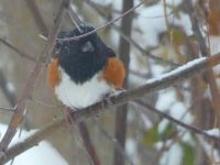 Eastern towhee in the snow, Unexpected Wildlife Refuge photo