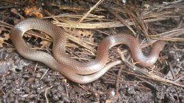Eastern worm snake, Unexpected Wildlife Refuge photo