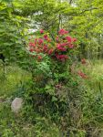 Evergreen azalea, Unexpected Wildlife Refuge photo