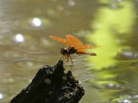 Flame skimmer dragonfly, Unexpected Wildlife Refuge photo
