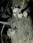 Flying squirrels, photo by Al Francesconi
