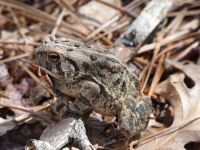 Fowler's toad along boundary trail near Headquarters (Apr 2020)