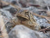 Fowler's toad near Miller Pond (Apr 2020)