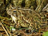 Fowler's toad, Unexpected Wildlife Refuge photo
