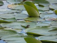 Giant water bug, male with eggs on back, on lily pad in main pond (May 2020)