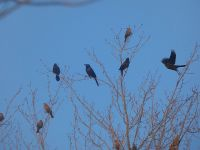 Female red-winged blackbirds and grackles, Unexpected Wildlife Refuge photo