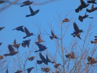 Grackles, red-winged blackbirds and starlings, Unexpected Wildlife Refuge photo