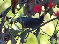 Gray catbird eating dogwood berries, Unexpected Wildlife Refuge photo