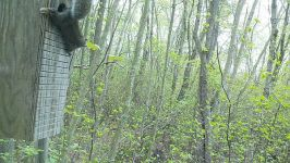 Gray squirrel on old wood duck nest box via trail camera (May 2017)