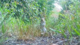 Gray squirrel, Unexpected Wildlife Refuge trail camera photo