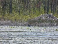 Great blue heron in main pond near beaver lodge, 2 (turtle shell on lodge) (May 2020)
