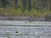 Great blue heron in main pond near beaver lodge, 3 (May 2020)