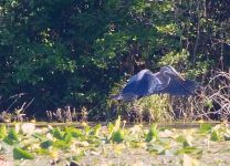 Great blue heron, main pond, Unexpected Wildlife Refuge photo