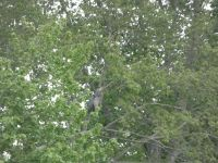 Great blue heron grooming in tree next to main pond, 1 (May 2020)