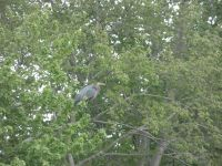 Great blue heron grooming in tree next to main pond, 2 (May 2020)