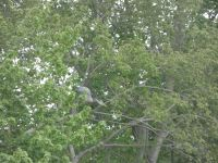 Great blue heron grooming in tree next to main pond, 3 (May 2020)