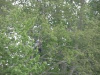 Great blue heron grooming in tree next to main pond, 4 (May 2020)