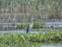 Great blue heron in Miller Pond, Unexpected Wildlife Refuge photo